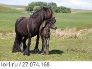 Купить «Fell pony with foal, Greenholme stud, Stoney Gill Farm, Shap, Cumbria, May 2016», фото № 27074168, снято 12 июля 2020 г. (c) Nature Picture Library / Фотобанк Лори