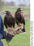 Купить «Harris hawks (Parabuteo unicinctus) on the glove, captive falconry bird, Cumbria, UK, April 2016», фото № 27074172, снято 12 июля 2020 г. (c) Nature Picture Library / Фотобанк Лори