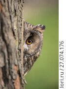 Купить «Long-eared owl (Asio otus) peering round tree trunk, captive, UK.», фото № 27074176, снято 12 июля 2020 г. (c) Nature Picture Library / Фотобанк Лори