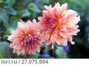 Купить «Красивые цветы в саду. Фокус на переднем плане», эксклюзивное фото № 27075884, снято 19 ноября 2017 г. (c) Svet / Фотобанк Лори