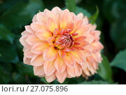 Купить «Крупный цветок георгина с каплями дождя  (лат. Dаhlia)», эксклюзивное фото № 27075896, снято 8 октября 2017 г. (c) Svet / Фотобанк Лори