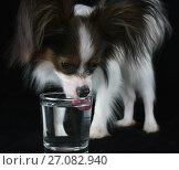 Купить «Beautiful young male dog Continental Toy Spaniel Papillon drinks clean water from a glass on black background», фото № 27082940, снято 9 октября 2017 г. (c) Юлия Машкова / Фотобанк Лори