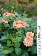 Купить «Цветы и листья георгина в осеннем саду», эксклюзивное фото № 27084324, снято 8 октября 2017 г. (c) Svet / Фотобанк Лори