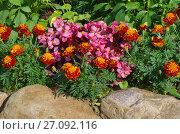 Купить «Бегония вечноцветущая (лат. Begonia semperflorens) и бархатцы (лат. Tagetes) на клумбе в саду», фото № 27092116, снято 20 августа 2017 г. (c) Елена Коромыслова / Фотобанк Лори