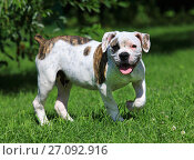 Купить «American bulldog standing  on the grass», фото № 27092916, снято 9 августа 2017 г. (c) Алексей Кузнецов / Фотобанк Лори