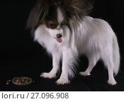 Купить «Beautiful young male dog Continental Toy Spaniel Papillon does not want to eat dry food on black background», фото № 27096908, снято 9 октября 2017 г. (c) Юлия Машкова / Фотобанк Лори