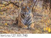 Купить «Bengal tiger (Panthera tigris) tigress Noor hunting , Ranthambhore, India», фото № 27101740, снято 22 июля 2018 г. (c) Nature Picture Library / Фотобанк Лори