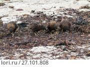 Купить «Striated caracara (Phalcoboenus australis) group searching for food amongst seaweed, Saunders Island, Falkland Islands, November.», фото № 27101808, снято 20 мая 2019 г. (c) Nature Picture Library / Фотобанк Лори
