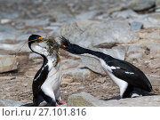 Купить «Imperial shag (Phalacrocorax atriceps albiventer) adult trying to steal nesting material from another adult, Sealion Island, Falkland Islands,  December.», фото № 27101816, снято 20 мая 2019 г. (c) Nature Picture Library / Фотобанк Лори