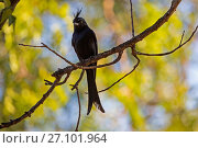 Crested drongo (Dicrurus forficatus) perching on branch, Berenty Private Reserve, southern Madagascar. Стоковое фото, фотограф David  Pattyn / Nature Picture Library / Фотобанк Лори