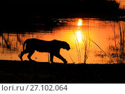 Купить «Bengal tiger (Panthera tigris) tigress 'Arrowhead' in silhouetted walking in front of lake at sunset , Ranthambhore, India», фото № 27102064, снято 22 июля 2018 г. (c) Nature Picture Library / Фотобанк Лори