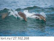 Купить «Galapagos sea lions (Zalophus wollebaeki) swimming in the surf, Galapagos.», фото № 27102268, снято 22 марта 2019 г. (c) Nature Picture Library / Фотобанк Лори