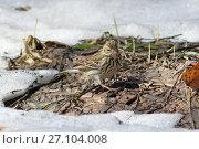 Лесной конёк (Anthus trivialis) весенним солнечным днем в лесу на проталине. Алтайский край. Стоковое фото, фотограф Григорий Писоцкий / Фотобанк Лори