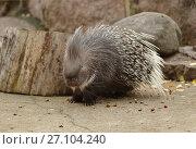 Купить «Indian crested porcupine (Hystrix indica), or Indian porcupine», фото № 27104240, снято 17 октября 2017 г. (c) Валерия Попова / Фотобанк Лори