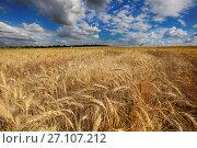 Купить «Поле желтой пшеницы и облака в небе», фото № 27107212, снято 13 июля 2017 г. (c) Яна Королёва / Фотобанк Лори