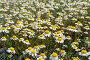 Ромашка аптечная (Matricaria chamomilla), фото № 27108128, снято 18 апреля 2017 г. (c) Ирина Яровая / Фотобанк Лори