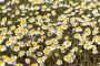 Ромашка аптечная (Matricaria chamomilla), фото № 27108776, снято 18 апреля 2017 г. (c) Ирина Яровая / Фотобанк Лори