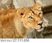 Купить «Portrait of lioness (Panthera Leo Persica)», фото № 27111656, снято 17 октября 2017 г. (c) Валерия Попова / Фотобанк Лори