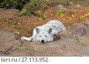 Купить «Sleeping Tundra wolf (Canis lupus albus), also known as Turukhan wolf», фото № 27113952, снято 17 октября 2017 г. (c) Валерия Попова / Фотобанк Лори