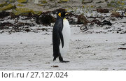 Купить «King Penguins at Falkland Island», видеоролик № 27127024, снято 19 октября 2017 г. (c) Vladimir / Фотобанк Лори