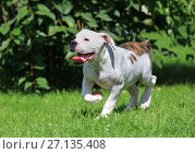 Купить «American bulldog puppy running on the grass», фото № 27135408, снято 9 августа 2017 г. (c) Алексей Кузнецов / Фотобанк Лори