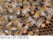 Купить «Honey Bee colony showing female worker bees on brood chamber comb. Norfolk, England, June 2017.», фото № 27135612, снято 18 августа 2018 г. (c) Nature Picture Library / Фотобанк Лори