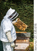 Купить «Beekeeper inspecting brood chamber on a honey bee hive. Norfolk, England, June 2017.», фото № 27135616, снято 23 мая 2018 г. (c) Nature Picture Library / Фотобанк Лори