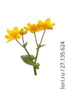 Купить «Marsh-marigold (Caltha palustris) in flower.», фото № 27135624, снято 22 сентября 2018 г. (c) Nature Picture Library / Фотобанк Лори