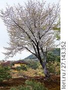 Купить «Большое дерево сакуры на фоне маленького храма Кинкаку-дзи, Золотой павильон (Kinkaku-ji temple). Буддийская святыня в Киото, Япония.», фото № 27143352, снято 12 апреля 2013 г. (c) Кекяляйнен Андрей / Фотобанк Лори
