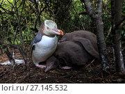 Купить «Yellow eyed penguin (Megadyptes antipodes) with chicks on Enderby Island, subantarctic Auckland Islands, New Zealand. January.», фото № 27145532, снято 17 июля 2019 г. (c) Nature Picture Library / Фотобанк Лори