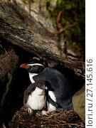 Купить «Fiordland crested penguin (Eudyptes pachyrhynchus), Harrison Cove colony in the Milford Sound, New Zealand. October.», фото № 27145616, снято 22 июля 2018 г. (c) Nature Picture Library / Фотобанк Лори