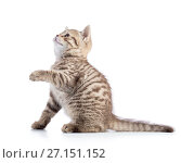 Купить «Striped Scottish kitten pure breed with paw stretched out isolated», фото № 27151152, снято 12 августа 2017 г. (c) Оксана Кузьмина / Фотобанк Лори