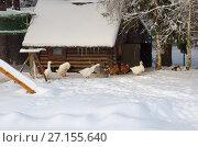 Купить «Домашняя птица гуляет зимой в просторном вольере», эксклюзивное фото № 27155640, снято 15 ноября 2016 г. (c) Елена Коромыслова / Фотобанк Лори
