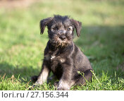 Купить «Mittelschnauzer puppy on green grass», фото № 27156344, снято 6 сентября 2008 г. (c) Serg Zastavkin / Фотобанк Лори