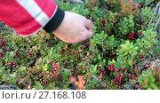 Купить «Женщина собирает бруснику в лесу, крупный план руки с кустами», видеоролик № 27168108, снято 25 октября 2017 г. (c) Кекяляйнен Андрей / Фотобанк Лори