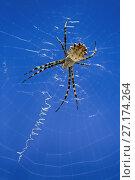 Купить «Самка паука Аргиопа в паутине на фоне синего неба», фото № 27174264, снято 2 августа 2017 г. (c) Яна Королёва / Фотобанк Лори