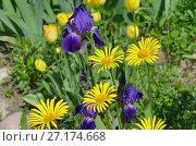 Купить «Желтый дороникум (лат. Doronicum) и фиолетовые бородатые ирисы (лат. Iris barbatus) цветут в саду», эксклюзивное фото № 27174668, снято 10 июня 2017 г. (c) Елена Коромыслова / Фотобанк Лори