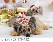 Купить «Purebred Chinese Crested dogs», фото № 27176432, снято 4 ноября 2017 г. (c) Алексей Кузнецов / Фотобанк Лори