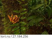 Купить «Hourglass tree frog (Dendropsophus ebraccatus) on a tree trunkt La Selva Biological Station, Costa Rica.», фото № 27184256, снято 21 января 2018 г. (c) Nature Picture Library / Фотобанк Лори
