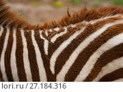 Купить «Plains zebra (Equus burchelli) in the Ngorongoro Crater, Tanzania.», фото № 27184316, снято 12 декабря 2017 г. (c) Nature Picture Library / Фотобанк Лори
