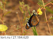 Купить «African monarch butterfly (Danaus chrysippus) sipping nectar from a Devil's thorn flower (Tribulus zeyheri) in the Kalahari Desert, South Africa.», фото № 27184620, снято 23 января 2018 г. (c) Nature Picture Library / Фотобанк Лори