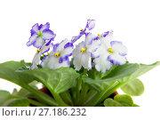 Купить «Blooming Viola, isolated on white background», фото № 27186232, снято 6 ноября 2017 г. (c) Юлия Кузнецова / Фотобанк Лори