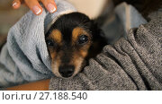 Купить «Small Dog After Bathing Wrapped in a Towel», видеоролик № 27188540, снято 7 ноября 2017 г. (c) Илья Шаматура / Фотобанк Лори