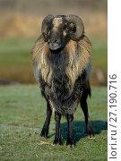 Купить «Cameroon ram, Marsh of Ile d'Olonne, Vendee, France, January.», фото № 27190716, снято 15 августа 2018 г. (c) Nature Picture Library / Фотобанк Лори