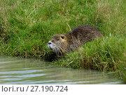 Купить «Coypu (Myocastor coypus) in grassland, Marais Breton, Vendée, France, March. Invasive species.», фото № 27190724, снято 16 августа 2018 г. (c) Nature Picture Library / Фотобанк Лори