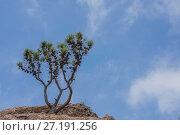 Сосна на скале. Стоковое фото, фотограф Сергей Юшинский / Фотобанк Лори