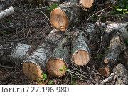 Купить «Распиленные бревна березы лежат на земле», фото № 27196980, снято 4 мая 2016 г. (c) Алёшина Оксана / Фотобанк Лори