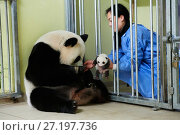 Купить «Keeper feeding Giant panda (Ailuropoda melanoleuca) female Huan Huan, whilst removing baby, age one month, for check ups. Beauval Zoo, France.  September 2017.», фото № 27197736, снято 19 апреля 2019 г. (c) Nature Picture Library / Фотобанк Лори