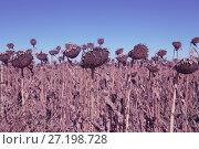 Купить «Image of fields of sunflowers», фото № 27198728, снято 14 сентября 2017 г. (c) Яков Филимонов / Фотобанк Лори