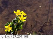 Купить «Marsh Marigold (Caltha palustris) flowers», фото № 27207168, снято 21 мая 2016 г. (c) Евгений Ткачёв / Фотобанк Лори